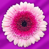 Gerber flower on purple background Royalty Free Stock Images