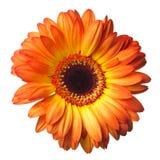 Gerber flower on a white Stock Photos