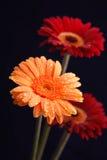 Gerber flowers. Orange and red wet Gerber flowers on black studio background Stock Photos
