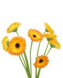 Gerber flowers Royalty Free Stock Image