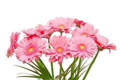 Gerber flowers Stock Photography