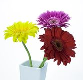 Gerber flowers. In vase isolated on white Royalty Free Stock Photos