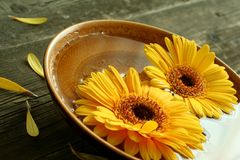 Gerber flowers in bowl on old wooden Royalty Free Stock Photo