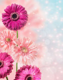 Gerber flowers , floral border with bokeh Royalty Free Stock Photos