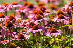 Gerber flowers in a garden Stock Images
