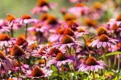 Gerber flowers in a garden Stock Photography