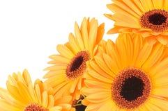 Gerber flowers Stock Photos