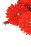 Gerber flowers isolated on white Stock Photography