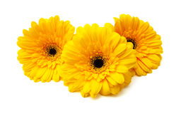 Gerber flowers Stock Image