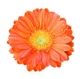 Gerber Flowers in orange color Royalty Free Stock Photography