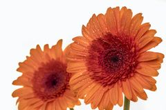 Two beautiful Gerbera daisy flowers in orange Royalty Free Stock Photo