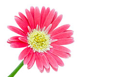Gerber Flowers in pink color Royalty Free Stock Images