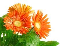 Gerber flowers. Stock Photos