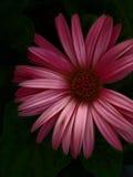 Gerber Gänseblümchen Stockbild