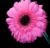 Gerber Gänseblümchen, das hoch steht Stockfotografie