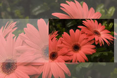 Gerber Gänseblümchen-Gruß-Karte Stockbild