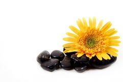 Gerber Gänseblümchen und Felsen Stockbild