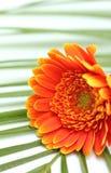 Gerber-Gänseblümchenblume auf Palmblatt Stockfotografie