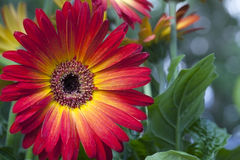 Gerber or Gerbera Daisy Royalty Free Stock Photos