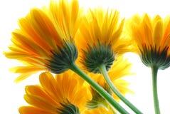 Gerber giallo fotografia stock