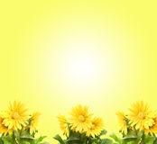 Gerber giallo Immagini Stock Libere da Diritti