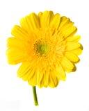 Gerber giallo su bianco Fotografia Stock Libera da Diritti