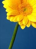 Gerber jaune Photos stock
