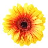 gerber kolor żółty Zdjęcia Stock