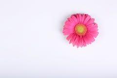 Gerber kwiat   Obrazy Stock