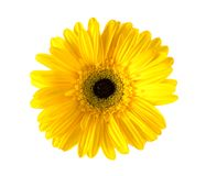 Gerber kwiat w wazie na białym tle, Obraz Stock