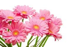 Gerber kwiaty Obraz Royalty Free