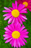 Gerber. large pink daisies with a bright yellow Center. In the Par stock image