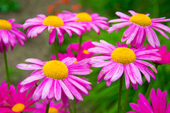 Gerber. large pink daisies with a bright yellow Center. In the Par stock photography