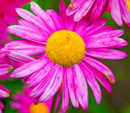 Gerber. large pink daisies with a bright yellow Center. Stock Image