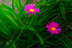 Gerber. large pink daisies with a bright yellow Center. Royalty Free Stock Photography