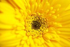 gerber macro Fotografia Royalty Free