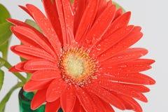 Gerber molhado vermelho Fotografia de Stock Royalty Free