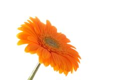 Gerber orange Photographie stock