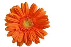 Gerber orange d'isolement Photos libres de droits