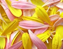Gerber petals Royalty Free Stock Photo