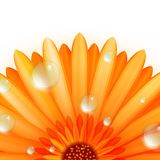Gerber petals with water drops. plus EPS10 Stock Images