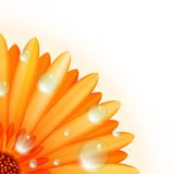Gerber petals with water drops. plus EPS10 Royalty Free Stock Photography
