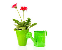Gerber plant and green watering can Stock Image
