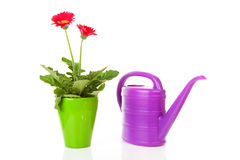 Gerber plant and watering can Stock Image