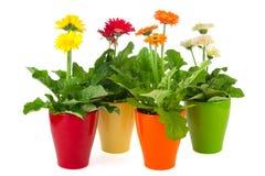 Gerber plants stock photo