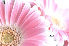 gerber różowy zdjęcia royalty free