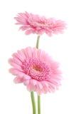 gerber różowy obrazy royalty free