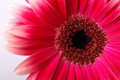 Gerber rojo Foto de archivo libre de regalías