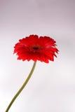Gerber rojo Foto de archivo