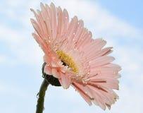 Gerber rosa Fotografia Stock Libera da Diritti